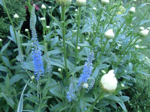 Blog Photo - Blue Salvia wide