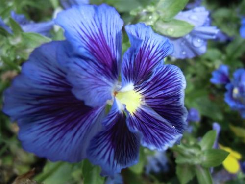 Blog Photo - pansies - blue CU