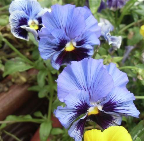 Blog Photo - Pansies Blue