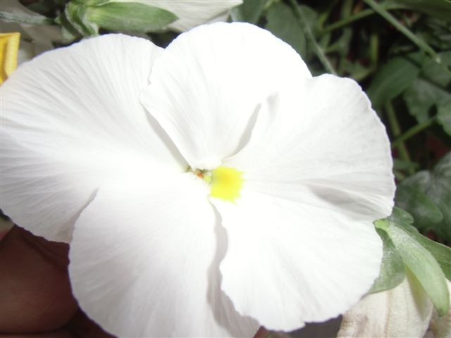 Blog Photo - Pansy white CU
