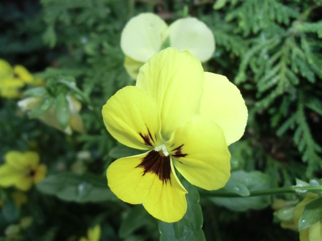 Blog Photo - Pansy yellow