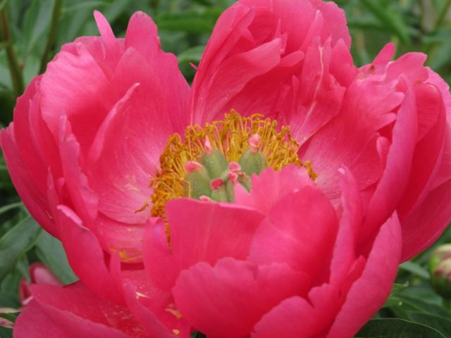 Blog Photo - Peony large pink CU - photo by Gundy Schloen
