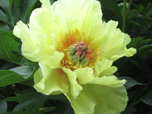 Blog Photo - Peony Yellow - Photo by Gundy Schloen
