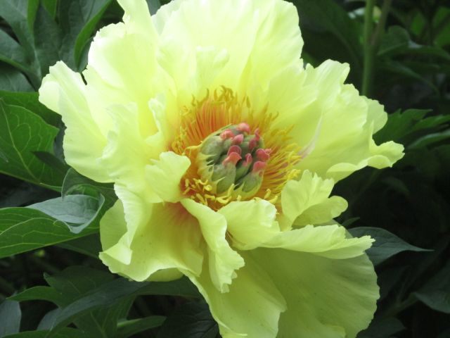 Blog Photo - Peony Yellow - Photo by Gundy Schloen