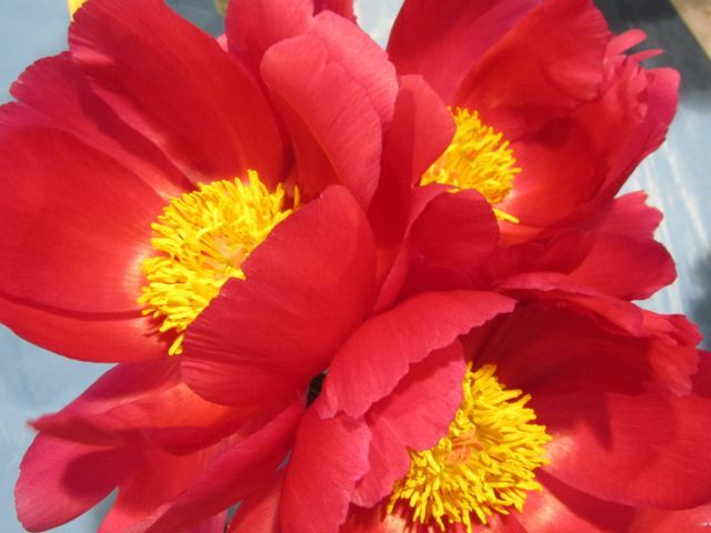 Blog Photo - Red Peonies - Photo by Gundy Schloen