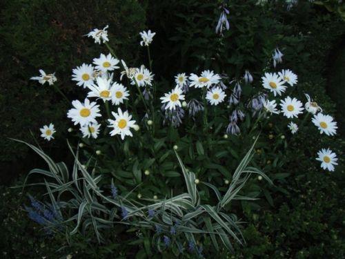 Blog Photo - White garden Daisies