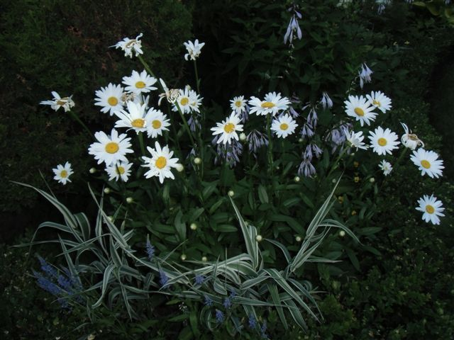 Blog Photo - White garden Daisies