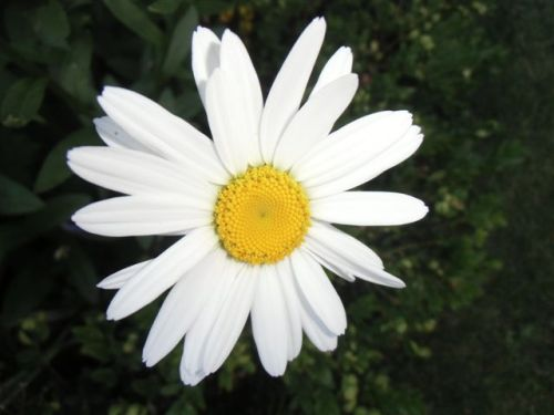 Blog Photo - White garden Daisy CU