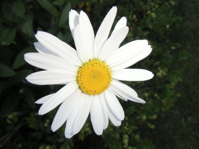 Blog Photo - White garden Daisy CU