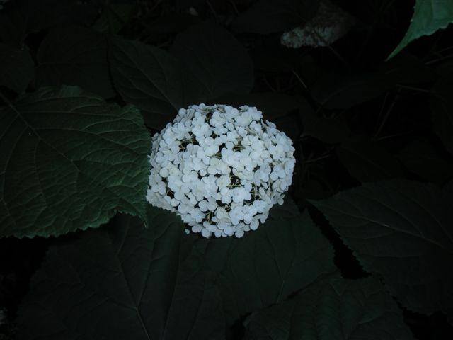 Blog Photo - White garden Hydrangea at night