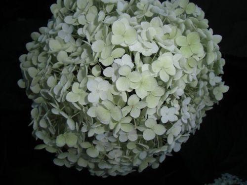 Blog Photo - White garden Hydrangea CU