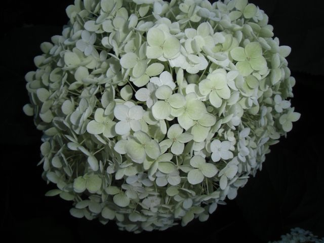 Blog Photo - White garden Hydrangea CU