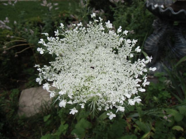 Blog Photo - White garden Queen Annes Lace
