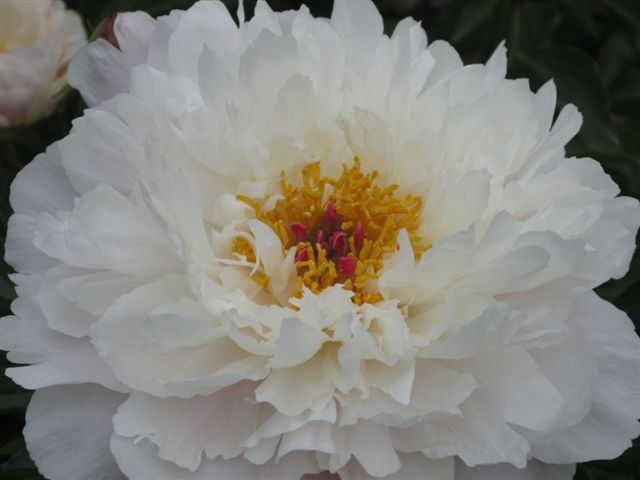 Blog Photo - White Peony photo by Gundy Schloen