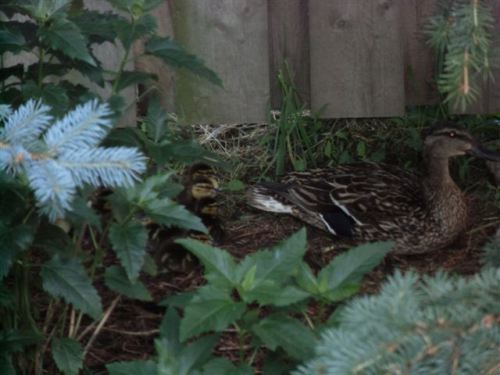 Blog Photo - Duck Family
