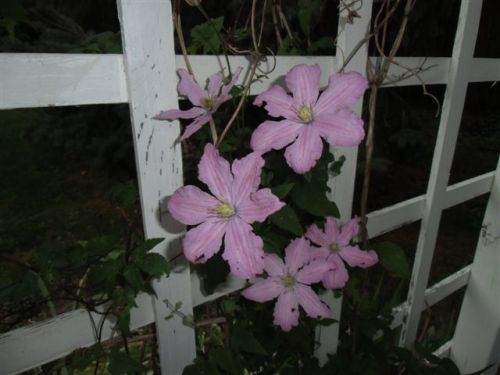 Blog Photo - Late pink clematis