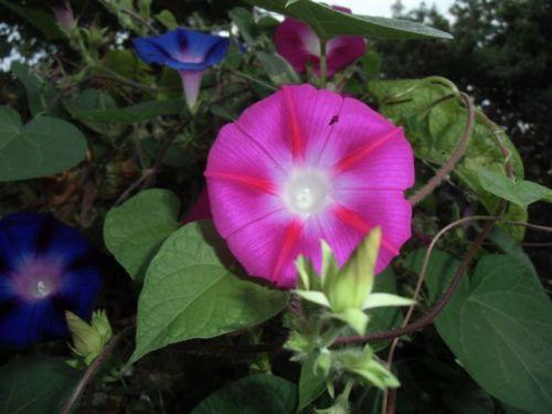 Blog Photo - Pink Morning Glory