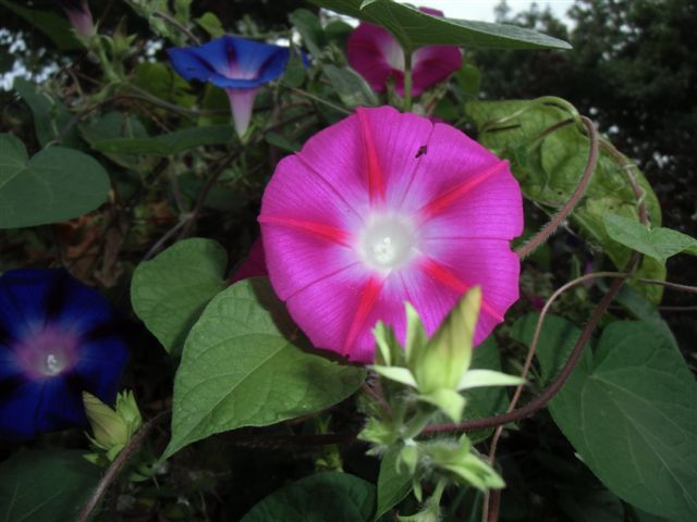 Blog Photo - Pink Morning Glory