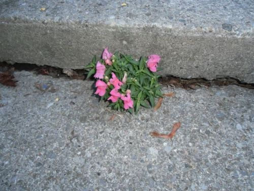 Blog Photo - Snapdragon Reborn in Concrete