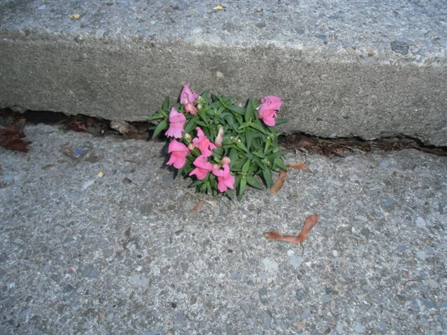 Blog Photo - Snapdragon Reborn in Concrete