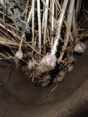 Blog Photo - Kitchen garlic in pot
