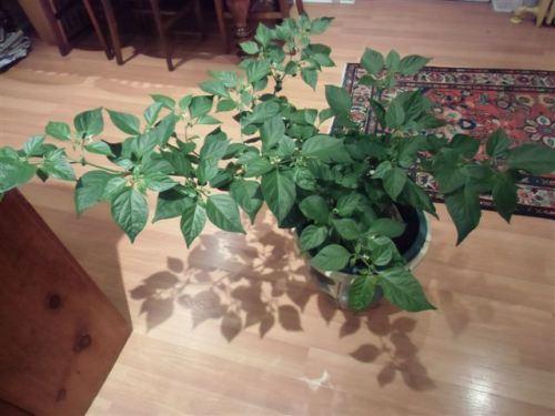 Blog Photo - Kitchen Pepper Plant