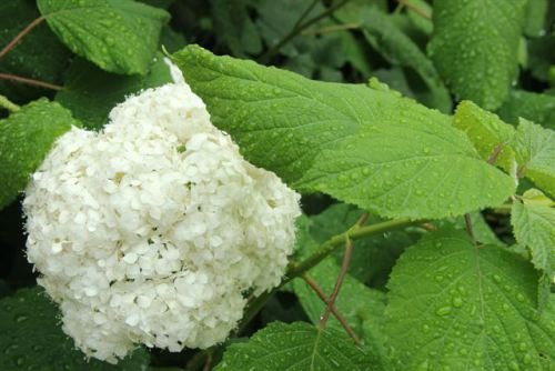 Blog Photo - New Year's Poem Hydrangea in Rain