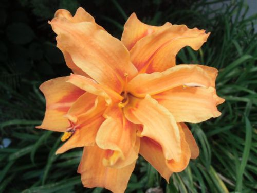 Blog Photo - flowers - Day lily double orange