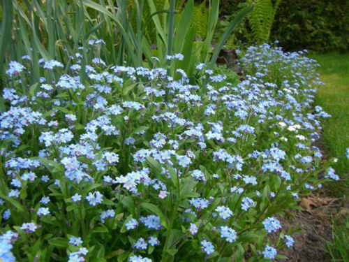 Blog Photo - Garden short flowers in front forget-me-nots