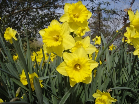 Blog photo Lavinia and Rick story Daffodils