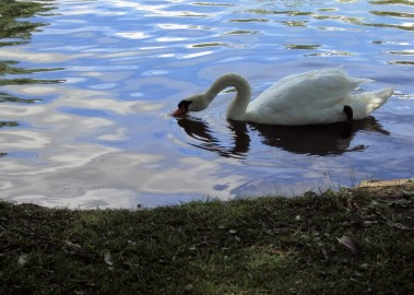 Blog Photo Stratford Swan by Dale Ratcliffe