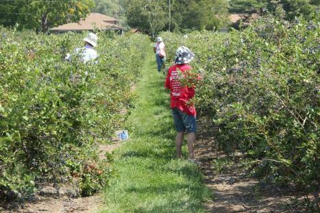 Blog Photo Blueberry Picking