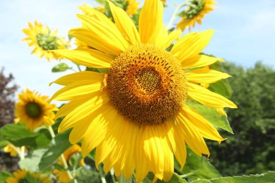 Blog Photo Sunflower CU by H Grange