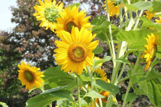 Blog Photo Sunflowers by H Grange