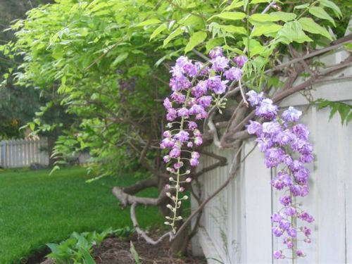 Blog Photo - Big wisteria blooms