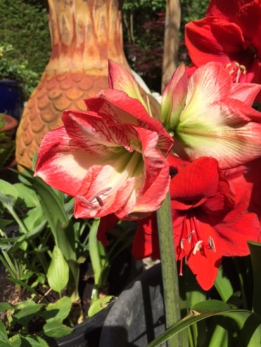 Blog Photo - Amaryllis Blooms 3 - July 2017