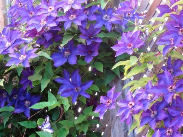 Blog Photo - Yvonne Clematis Vine