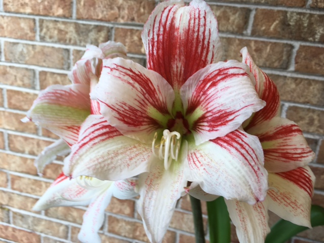 Blog Photo - Amaryllis CU late 2017