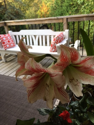 Blog Photo - Amaryllis Wideshot late 2917