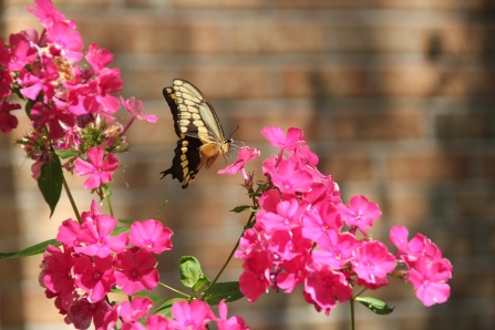 Blog Photo - Pink Phlox and Butterfly