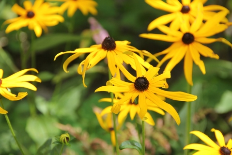 Blog Photo - Rudbeckia