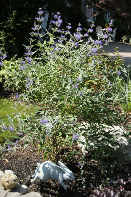 Blog Photo - Shrub with Blue Flowers1