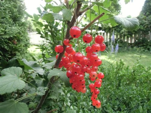 Blog Photo - Verandah - Red Currants