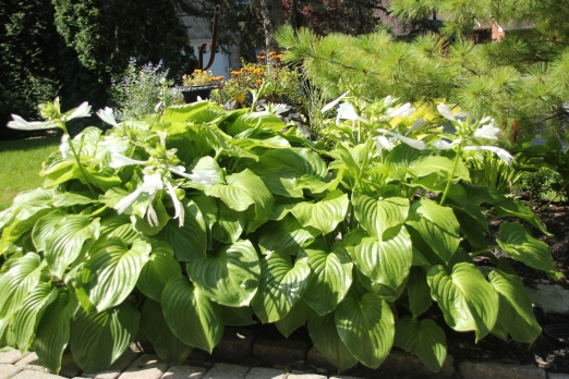 Blog Photo - White Hosta Group