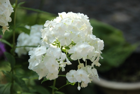 Blog Photo - White Phlox CU.JPG