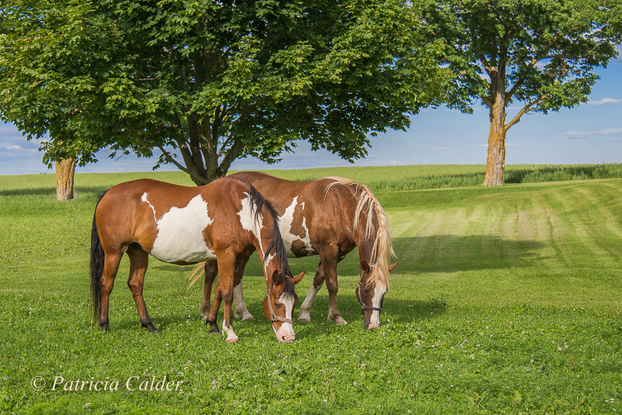 SOTH - Patricia Calder Horse Photo - 2 paints