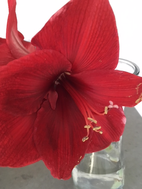 Blog Photo - Amaryllis Solo Bloom