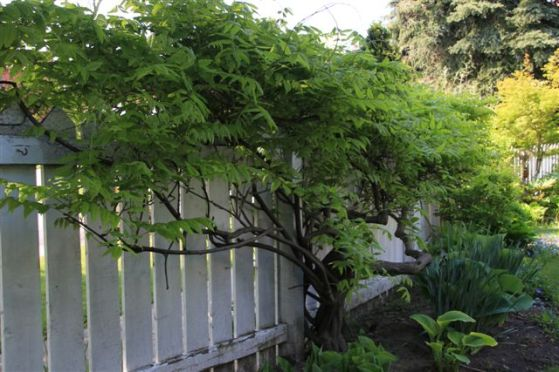 Blog Photo - Green wisteria 4