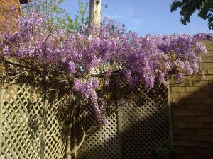 johns-wisteria31