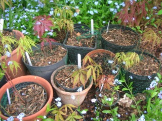 Blog Photo - Hilary Maple Seedlings in Pots